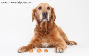 chewed-slippers-photography_dog-with-timbits-300x188
